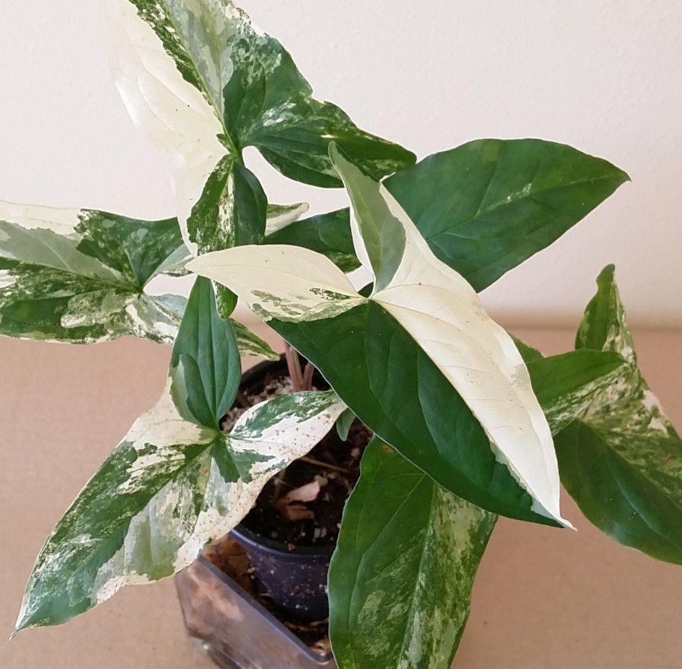 Albo-variegatum