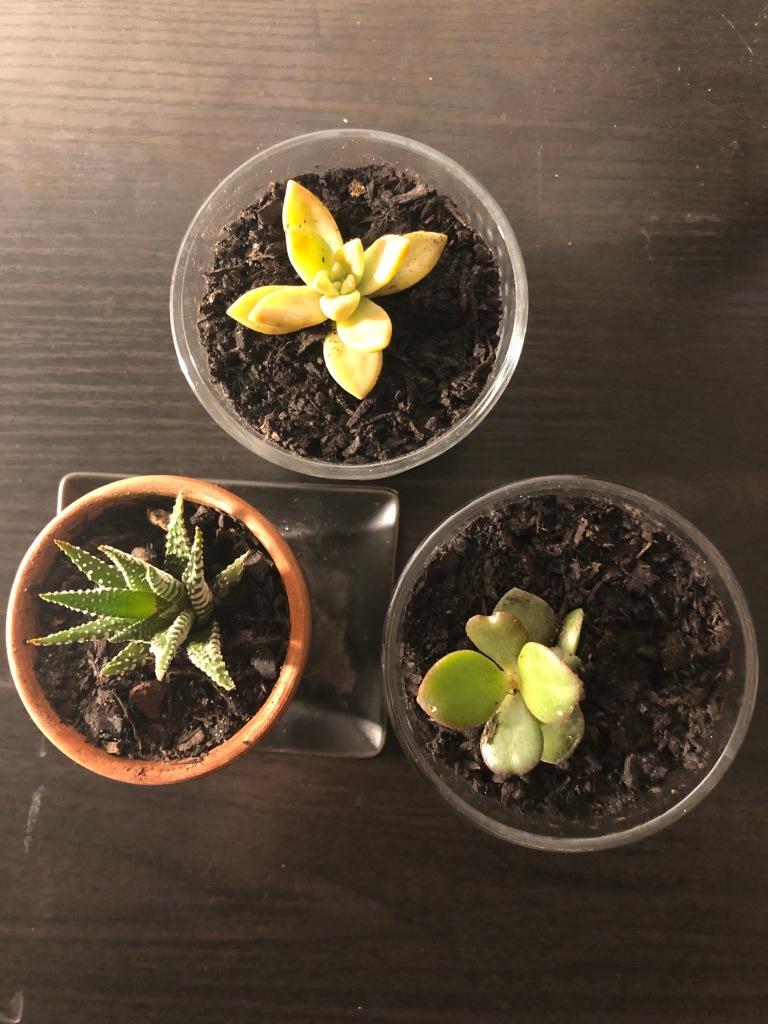 Succulent propagations