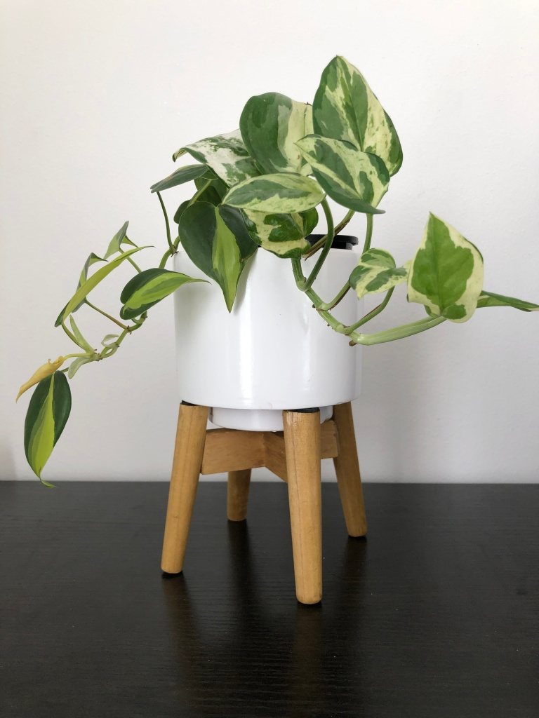 "My N'Joy Pothos (Epipremnum Aureum ""N'Joy"" potted up with my Philodendron Brasil (Philodendron hederaceum var. oxycardium ""Brasil"")"