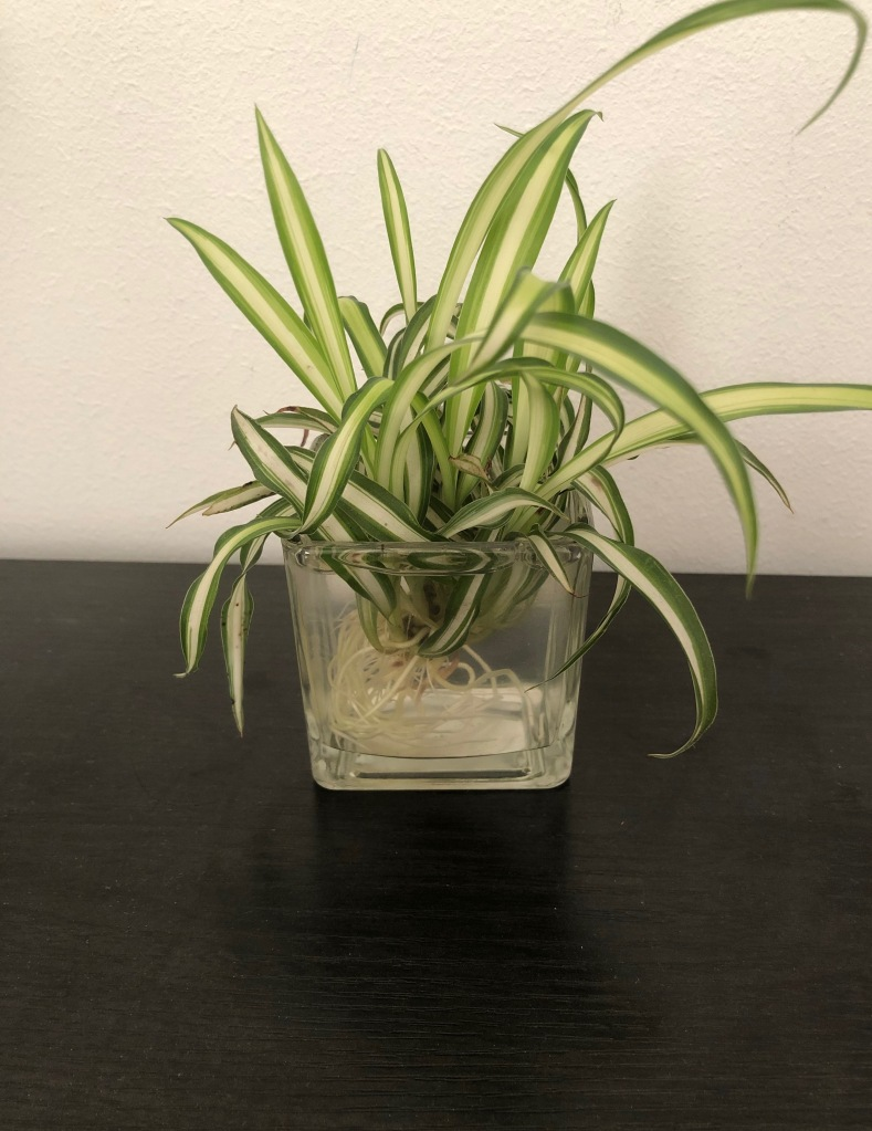 Spider plant in water