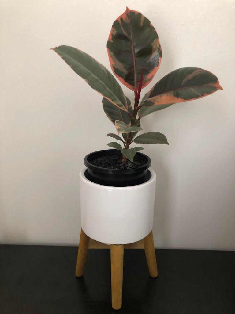 "My Ficus Elastica ""Ruby"""