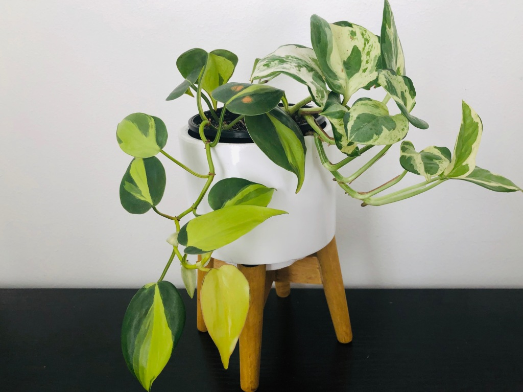 Philodendron brasil and N'joy pothos