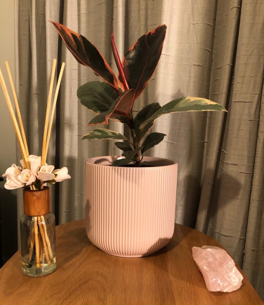Ficus elastica Ruby, Rose quartz, reed diffuser